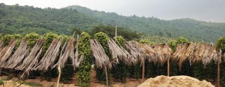 Visita a los campos de pimienta de Kampot